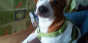 Vends jack russell fumay