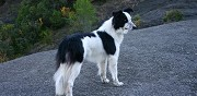 Chienne type border collie � adopter saint mathieu de tr�viers