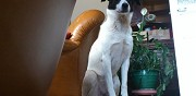 Disparue chienne crois�e border collie varetz