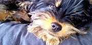 Chiot type yorkshire terrier � adopter fruges