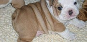 Adorables chiots bulldog anglais � adopter lof paris