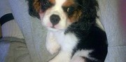 Perdue chienne cavalier king charles renage