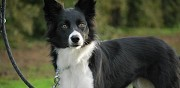 Chien perdu type border collie saint martin au la�rt