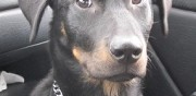 Femelle beauceron à adopter bourges