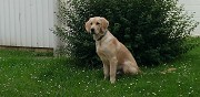 Donne golden retriever morangis