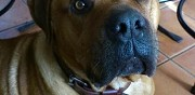 Urgent donne chien de race dogue de bordeaux crespi�res