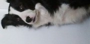 Border collie m�le pour saillie caudebec l�s elbeuf
