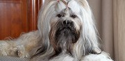 M�le lhassa apso disponible pour saillie nointel