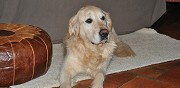 M�le golden retriever pour saillie la chapelle sur aveyron