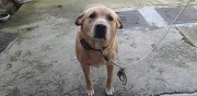 Donne labrador de 5 ans saint sim�on