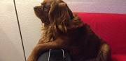 Cavalier king charles pour saillie nice