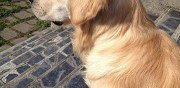 Golden retriever m�le pour saillie saint genest lerpt