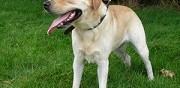 Labrador sable � adopter avallon