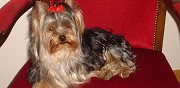 Yorkshire terrier m�le pour saillie metz