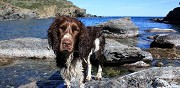 English springer spaniel à adopter bages