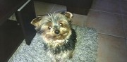 Yorkshire terrier disparu  reims