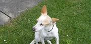 Don chienne podenco ch�teauneuf de galaure