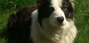 Border collie m�le pour saillie toulouse