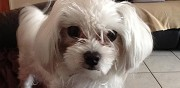 A adopter bichon toy lille