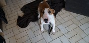 Donne bull terrier miniature urgent reims