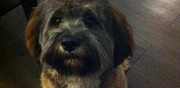 Lhassa apso m�le disponible pour saillie drancy