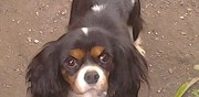 Vends cavalier king charles bastia