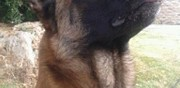 Berger belge malinois disponible pour saillie redene