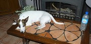 Donne chien m�le type jack russel terrier neuvilly