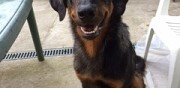 Vends adorable beauceron arlequin toulouse