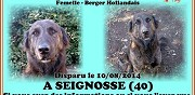 Chienne berger hollandais perdue seignosse