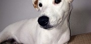 M�le jack russell disponible pour saillie la combelle