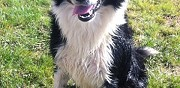 Border collie m�le pour saillie yvr� l'�v�que