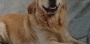 Golden retriever m�le pour saillie soucieu en jarrest