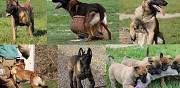 Chiots malinois lof � r�server pithiviers