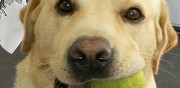 Labrador sable m�le � l'adoption narbonne