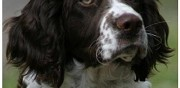 English springer spaniel pour saillie autignac