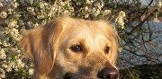 Donne golden retriever de 6 ans saint vaast en cambrésis
