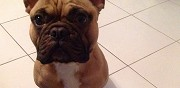 M�le bouledogue fran�ais disponible pour saillie herblay