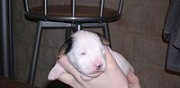 A vendre parson russell terrier � folkling