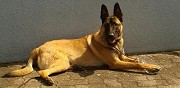 Vends berger malinois m�le de 1 an hoenheim