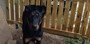 Beauceron pure race m�le en don chambery