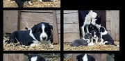 Vends chiots type border collie morlaix