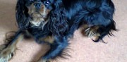 Cavalier king charles disponible pour saillie saint-affrique