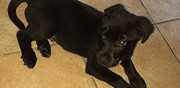 Donne chiot type labrador montpellier