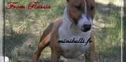 Propose m�le bull terrier miniature lof pour saillie montpellier