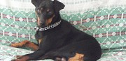 Pinscher moyen pour saillie le gault saint denis