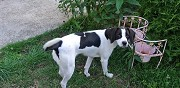 A adopter jeune chienne crois�e beagle/pointer brech
