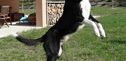 Border collie m�le pour saillie montesquieu