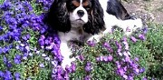 Saillie cavalier king charles beauvais