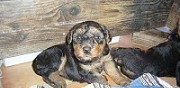 Vente chiots airedale terrier � biot